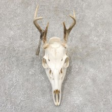 Whitetail Deer Skull European Mount For Sale #19038 @ The Taxidermy Store