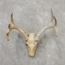 Whitetail Deer Skull European Mount For Sale #19149 @ The Taxidermy Store