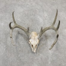 Whitetail Deer Skull European Mount For Sale #19153 @ The Taxidermy Store