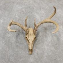 Whitetail Deer Skull European Mount For Sale #19155 @ The Taxidermy Store