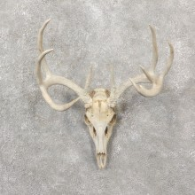 Whitetail Deer Skull European Mount For Sale #19251 @ The Taxidermy Store