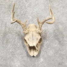 Whitetail Deer Skull European Mount For Sale #19254 @ The Taxidermy Store