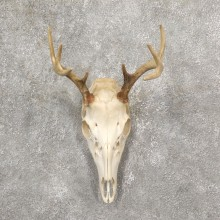 Whitetail Deer Skull European Mount For Sale #19256 @ The Taxidermy Store