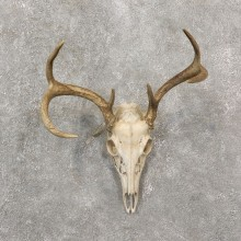 Whitetail Deer Skull European Mount For Sale #19257 @ The Taxidermy Store