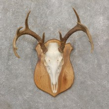 Whitetail Deer Skull European Mount For Sale #19259 @ The Taxidermy Store