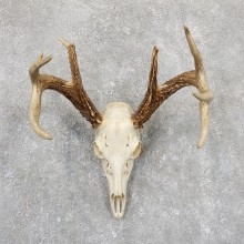 Whitetail Deer Skull European Mount For Sale #19417 @ The Taxidermy Store