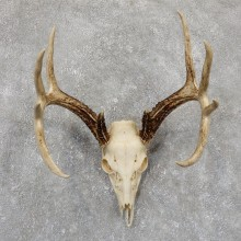 Whitetail Deer Skull European Mount For Sale #19421 @ The Taxidermy Store
