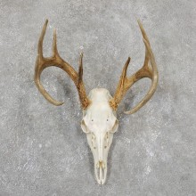 Whitetail Deer Skull European Mount For Sale #19506 @ The Taxidermy Store