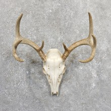 Whitetail Deer Skull European Mount For Sale #19658 @ The Taxidermy Store