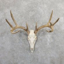 Whitetail Deer Skull European Mount For Sale #19659 @ The Taxidermy Store