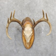 Whitetail Deer Skull European Mount For Sale #19663 @ The Taxidermy Store