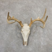 Whitetail Deer Skull European Mount For Sale #19820 @ The Taxidermy Store
