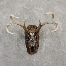 Whitetail Deer Skull European Mount For Sale #20023 @ The Taxidermy Store