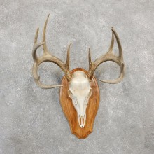 Whitetail Deer Skull European Mount For Sale #20026 @ The Taxidermy Store
