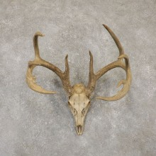 Whitetail Deer Skull European Mount For Sale #20096 @ The Taxidermy Store