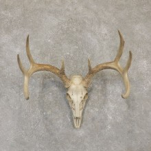 Whitetail Deer Skull European Mount For Sale #20097 @ The Taxidermy Store