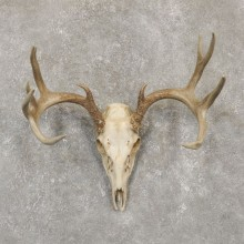 Whitetail Deer Skull European Mount For Sale #20100 @ The Taxidermy Store
