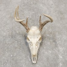 Whitetail Deer Skull European Mount For Sale #20159 @ The Taxidermy Store