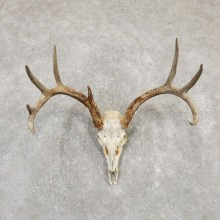 Whitetail Deer Skull European Mount For Sale #20166 @ The Taxidermy Store
