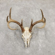 Whitetail Deer Skull European Mount For Sale #20169 @ The Taxidermy Store