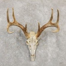 Whitetail Deer Skull European Mount For Sale #20173 @ The Taxidermy Store