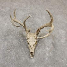 Whitetail Deer Skull European Mount For Sale #20175 @ The Taxidermy Store