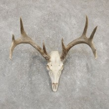 Whitetail Deer Skull European Mount For Sale #20177 @ The Taxidermy Store