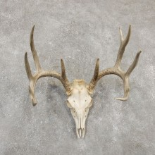 Whitetail Deer Skull European Mount For Sale #20178 @ The Taxidermy Store