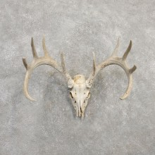 Whitetail Deer Skull European Mount For Sale #20308 @ The Taxidermy Store