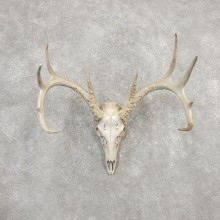 Whitetail Deer Skull European Mount For Sale #20329 @ The Taxidermy Store