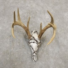 Whitetail Deer Skull European Mount For Sale #20374 @ The Taxidermy Store