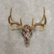 Whitetail Deer Skull European Mount For Sale #20451 @ The Taxidermy Store