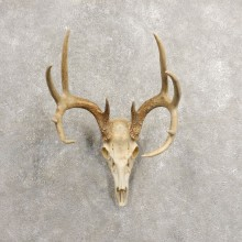Whitetail Deer Skull European Mount For Sale #20462 @ The Taxidermy Store