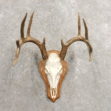 Whitetail Deer Skull European Mount For Sale #20463 @ The Taxidermy Store