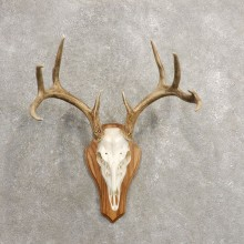 Whitetail Deer Skull European Mount For Sale #20464 @ The Taxidermy Store