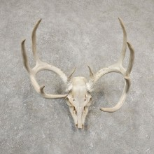 Whitetail Deer Skull European Mount For Sale #20545 @ The Taxidermy Store