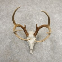 Whitetail Deer Skull European Mount For Sale #20980 @ The Taxidermy Store