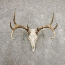 Whitetail Deer Skull European Mount For Sale #20982 @ The Taxidermy Store