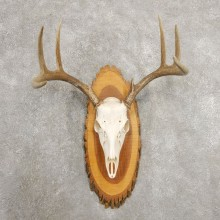 Whitetail Deer Skull European Mount For Sale #20983 @ The Taxidermy Store