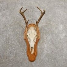 Whitetail Deer Skull European Mount For Sale #20990 @ The Taxidermy Store