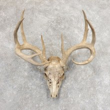 Whitetail Deer Skull European Mount For Sale #21345 @ The Taxidermy Store