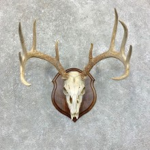 Whitetail Deer Skull European Mount For Sale #22865 @ The Taxidermy Store