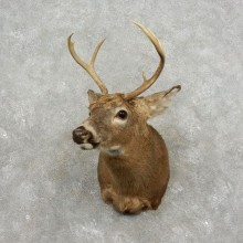 Whitetail Deer Shoulder Mount For Sale #17406 @ The Taxidermy Store