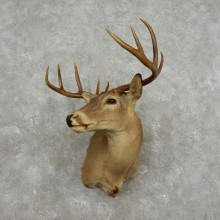 Whitetail Deer Shoulder Taxidermy Mount For Sale