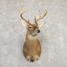 Whitetail Deer Taxidermy Shoulder Mount For Sale #20264 @ The Taxidermy Store