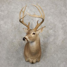 Whitetail Deer Taxidermy Shoulder Mount For Sale #20419 @ The Taxidermy Store