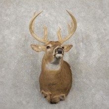 Whitetail Deer Taxidermy Shoulder Mount For Sale #20420 @ The Taxidermy Store