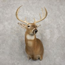 Whitetail Deer Taxidermy Shoulder Mount For Sale #20421 @ The Taxidermy Store