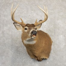 Whitetail Deer Taxidermy Shoulder Mount For Sale #20826 @ The Taxidermy Store