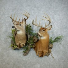 Whitetail Deer Wall Scene Taxidermy Shoulder Mounts For Sale #18393 @ The Taxidermy Store